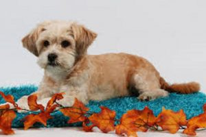 7 Smallest Dog Breeds That Will Make You Go Awww