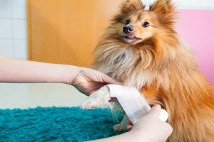 How To Bandage Your Dog Using Kendall Bandages.