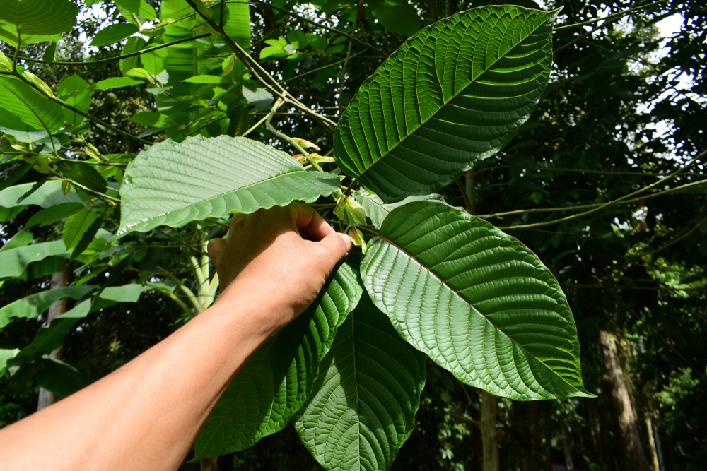 Reasons to Plant Your Own Kratom